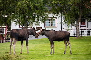 European moose (Alces alces) bulls near houses, Nordland, Norway. July. - Pal Hermansen