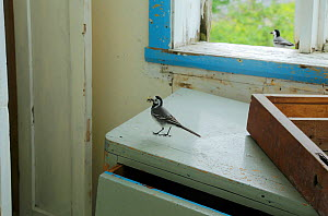 White wagtail (Motacilla alba alba) carrying food to nest in house, Lofoten, Norway, June.  -  Pal Hermansen