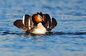 Great crested grebe (Podiceps cristatus) in courtship display posture, The Netherlands, March.  -  Krijn Trimbos