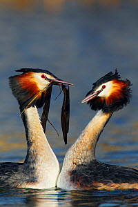 Great crested grebe (Podiceps cristatus) pair in 'weed dance' courtship display, The Netherlands, March.  -  Krijn Trimbos