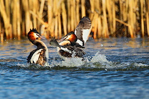 Great crested grebe (Podiceps cristatus) two in territorial fight, The Netherlands, March.  -  Krijn Trimbos
