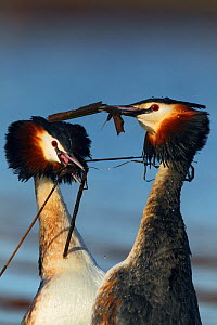 Great crested grebe (Podiceps cristatus) pair in 'weed dance' courtship display, The Netherlands. March.  -  Krijn Trimbos