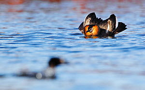 Great crested grebe (Podiceps cristatus) in courtship display posture, The Netherlands, March. March.  -  Krijn Trimbos