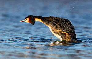 Great crested grebe (Podiceps cristatus) shaking off water, The Netherlands, March.  -  Krijn Trimbos