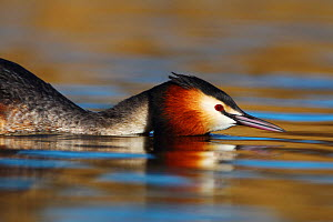 Great crested grebe (Podiceps cristatus) with head low to the water in aggressive display, The Netherlands. March.  -  Krijn Trimbos