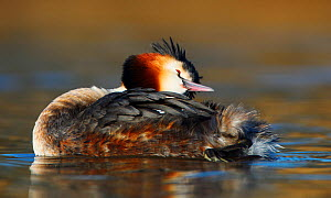 Great crested grebe (Podiceps cristatus) preening feathers, The Netherlands. March.  -  Krijn Trimbos