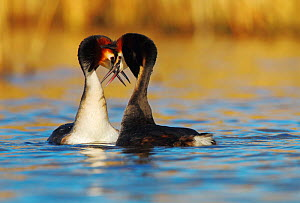 Great crested grebe (Podiceps cristatus) pair in courtship display, The Netherlands. March. - Krijn Trimbos