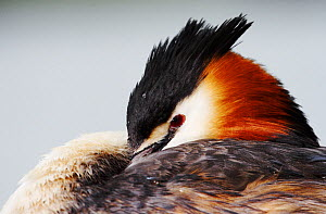 Great crested grebe (Podiceps cristatus) resting with head tucked into wing, The Netherlands, April.  -  Krijn Trimbos