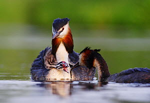 Great crested grebe (Podiceps cristatus) carrying chick while its mate  approaches with food, Netherlands, May.  -  Krijn Trimbos