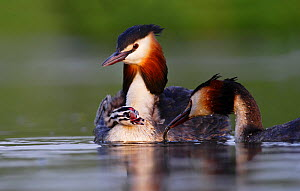 Great crested grebe (Podiceps cristatus) carrying chick on back, The Netherlands, May.  -  Krijn Trimbos