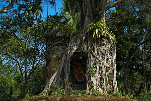 Hindu shrine of goddess Sitala overgrown by the roots of an Indian banyan tree (Ficus benghalensis), West Bengal, India. January. - Dr. Gertrud Neumann-Denzau