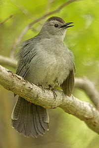 Gray catbird (Dumetella carolinensis) New York, USA, May. - John Cancalosi