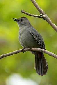 Gray catbird (Dumetella carolinensis) singing, New York, USA, May. - John Cancalosi