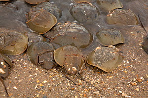 Atlantic horseshoe crab (Limulus polyphemus) ashore to breed, Delaware Bay, Delaware, USA. Gulf of Mexico, Atlantic Ocean. May.  -  John Cancalosi