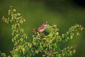 Whitethroat (Sylvia communis) singing, Norfolk, England, UK, May.  -  Robin Chittenden