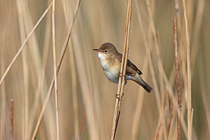 Reed warbler (Acrocephalus scirpaceus) perched on reed, Norfolk, England, May. - Robin Chittenden