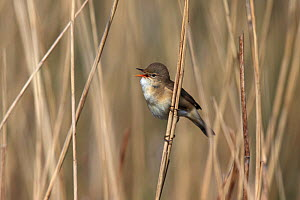 Reed warbler (Acrocephalus scirpaceus) singing, perched on reed, Norfolk, England, May. - Robin Chittenden