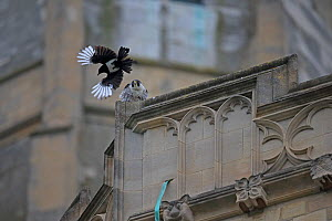 Magpie (Pica pica) mobbing Peregrine falcon (Falco peregrinus) Norwich Cathedral, Norfolk, England, UK, June. - Robin Chittenden