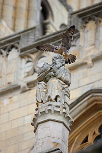 Peregrine falcon (Falco peregrinus) perched on statue at Norwich Cathedral, Norfolk, England, UK, June. - Robin Chittenden