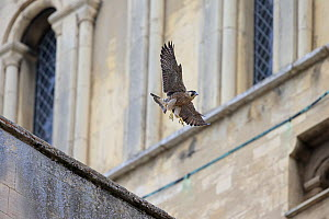 Peregrine falcon (Falco peregrinus) in flight, Norwich Cathedral, Norfolk, England, UK, June. - Robin Chittenden