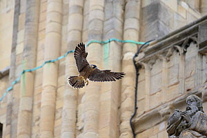 Peregrine falcon (Falco peregrinus) landing on statue, Norwich Cathedral, Norfolk, England, UK, June. - Robin Chittenden