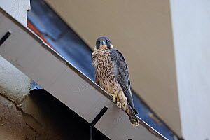 Peregrine (Falco peregrinus) perched, Norwich Cathedral,  Norfolk, England, UK, June. - Robin Chittenden