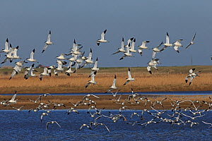 Avocet (Recurvirostra avosetta) group in flight, Norfolk, UK, March. - Robin Chittenden
