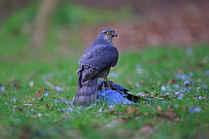 Sparrowhawk (Accipiter nisus) with Stock dove (Columba oenas) prey, Norfolk, England, UK, April.  -  Robin Chittenden