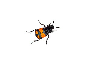 Burying beetle (Nicrophorus investigator) Barnt Green, Worcestershire, England, UK, September.  -  MYN / Tim Hunt