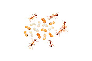 Red ant (Myrmica rubra) worker ants attending to larvae and pupae, Barnt Green, Worcestershire, England, UK, August.  -  MYN / Tim Hunt
