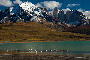 Chilean flamingo (Phoenicopterus chilensis) in Lago Azul with Torres del Paine, Torres del Paine National Park, Patagonia, Chile.  -  Pete Oxford