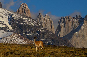 Guanaco (Lama guanaco) with Cordiera del Paine in back. Torres del Paine National Park, Patagonia, Chile.  -  Pete Oxford