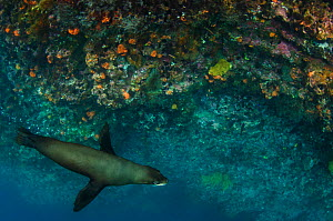 Galapagos fur seal (Arctocephalus galapagoensis) near coral reef drop off, Galapagos, December.  -  Pete Oxford