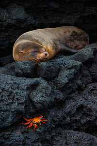 Galapagos fur seal (Arctocephalus galapagoensis) sleeping on rocks, with Sally lightfoot crab (Grapsus grapsus) Galapagos.  -  Pete Oxford