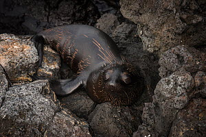 Galapagos fur seal (Arctocephalus galapagoensis) resting on rocks, Galapagos.  -  Pete Oxford
