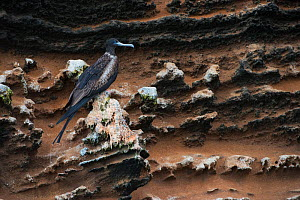 Magnificent frigatebird (Fregata magnificens) female perched on cliff, Galapagos. - Pete Oxford