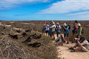 Tourists photographing Magnificent frigatebirds (Fregata magnificens) at nesting colony with chicks.North Seymour Island. Galapagos. - Pete Oxford