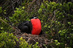 Magnificent frigatebird (Fregata magnificens) male with pouch inflated on nest, Galapagos. - Pete Oxford