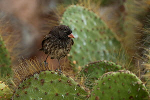 Sharp-beaked ground finch (Geospiza difficilis) on Opuntia cactus. Galapagos. Endemic. - Pete Oxford