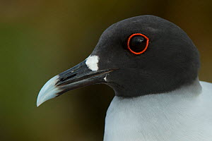Swallow-tailed gull (Larus furcatus) close up portrait,  Galapagos. Endemic. - Pete Oxford