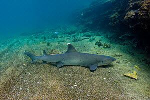 White-tipped reef sShark (Triaenodon obesus) on sea floor, Galapagos. - Pete Oxford