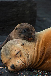 Galapagos sealion (Zalophus wollebaeki) mother and pup resting on beach, Galapagos.  -  Pete Oxford