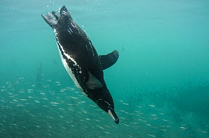 Galapagos Penguin (Spheniscus mendiculus) diving through shoal of fish, Galapagos. Endemic.  -  Pete Oxford