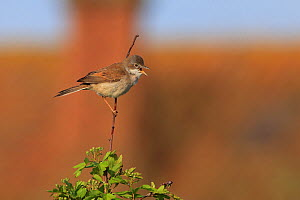 Whitethroat (Sylvia communis) perched, Norfolk, England, UK, May.  -  Robin Chittenden