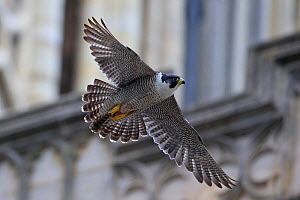 Peregrine (Falco peregrinus) in flight, in front of Norwich Cathedral, Norfolk, England, June. - Robin Chittenden