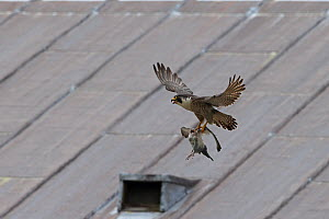 Peregrine falcon (Falco peregrinus) in flight with prey, Norwich Cathedral, Norfolk, England, Great Britain, UK, June. - Robin Chittenden
