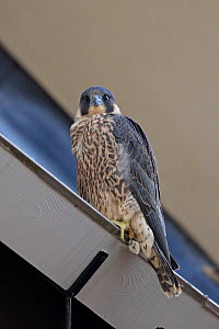Peregrine falcon (Falco peregrinus) perched, Norwich Cathedral, Norfolk, England, Great Britain, UK, June. - Robin Chittenden