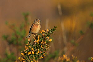 Linnet (Carduelis cannabina) perched on gorse, Suffolk, England, UK, April. - Robin Chittenden
