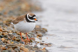Common ringed plover (Charadrius hiaticula) standing at the edge of a mountain lake, Oppland, Norway, June.  -  Andy  Trowbridge