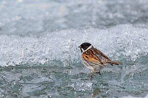 Male Reed bunting (Emberiza schoeniclus) on the frozen edge of a mountain lake, Oppland, Norway, June.  -  Andy  Trowbridge
